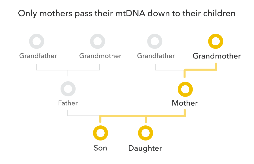 yellow_mtDNA_pedigree.png